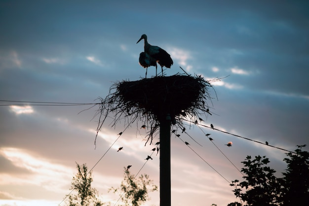 Una famiglia di cicogne nel loro nido, seduto in alto su un palo al tramonto la sera.