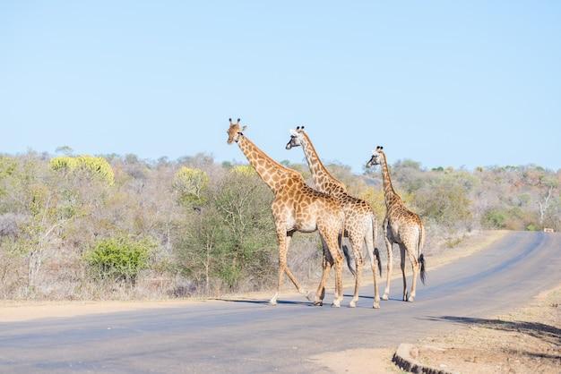 Una famiglia di tre giraffe che attraversano la strada nel parco nazionale di kruger, sudafrica.