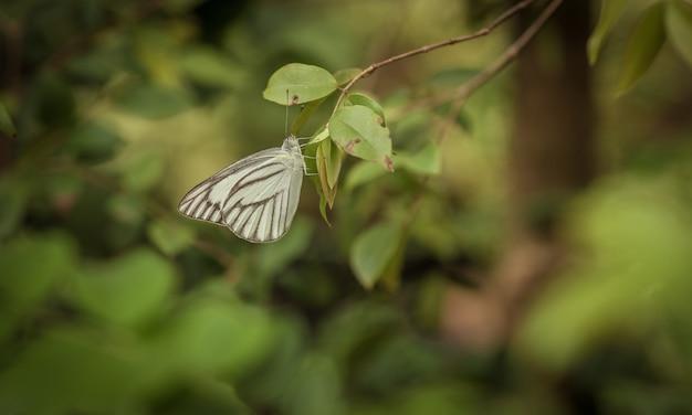 Una farfalla bianca con sfondo verde bokeh