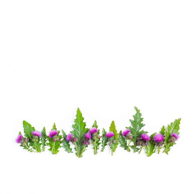 Una fila di foglie verdi e spine di thistle