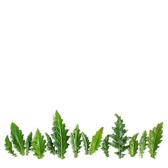 Una fila di foglie verdi umide del cardo. copia spazio, vista dall'alto, lay flat.