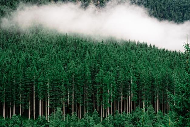Una fitta foresta con alti pini e nebbia