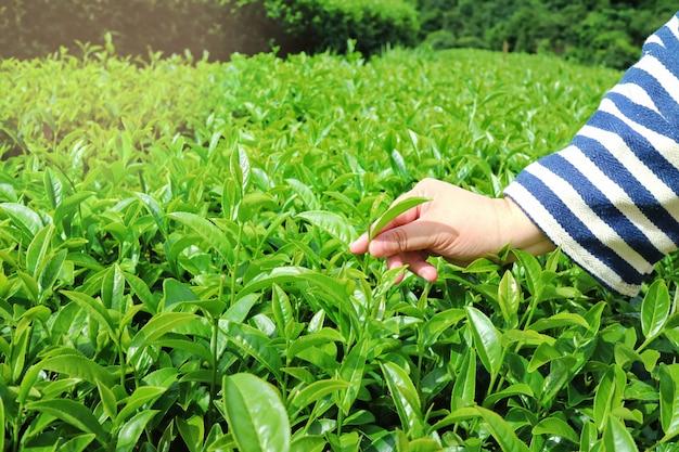 Una foglia di tè di raccolto della mano nel campo del tè. focalizzazione morbida.