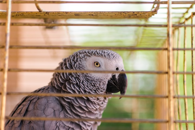 Una gabbia di grey africano yaco