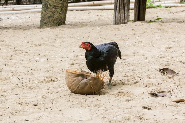 Una gallina in cerca di cibo sulla noce di cocco secca, scena rurale.