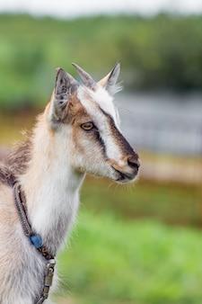 Una giovane capra con le corna su uno sfondo sfocato