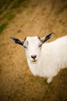 Una giovane capra sfiora un prato.