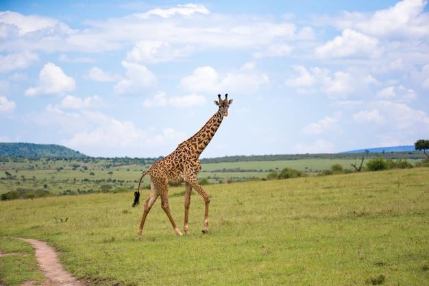 Una giraffa attraversa il paesaggio erboso