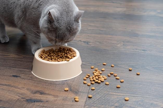 Una grande gatta grigia mangia cibo secco da una ciotola per gatti. avvicinamento.
