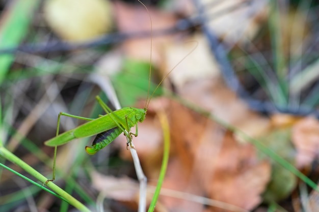 Una grande locusta verde con le ali si siede sull'erba in un habitat naturale.