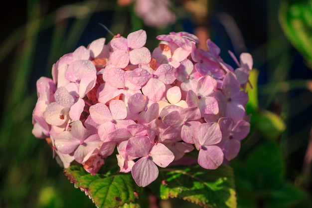 Una grande ortensia rosa sta fiorendo nel giardino.