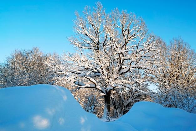 Una grande quercia nella neve. paesaggio invernale.
