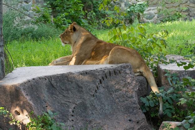 Una leonessa si trova su una pietra in una giornata di sole.