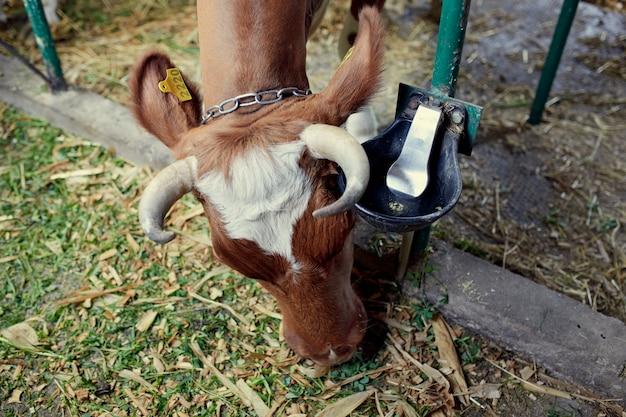 Una mandria di mucche all'interno di un caseificio che mangia erba e fieno, acqua potabile.