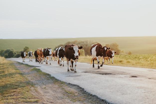 Una mandria di mucche mentre si rilassano in una stalla.
