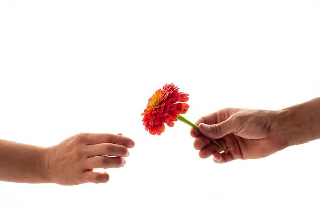 Una mano maschio che tiene e che dà una zinnia sbocciante fiorisce ad una donna isolata
