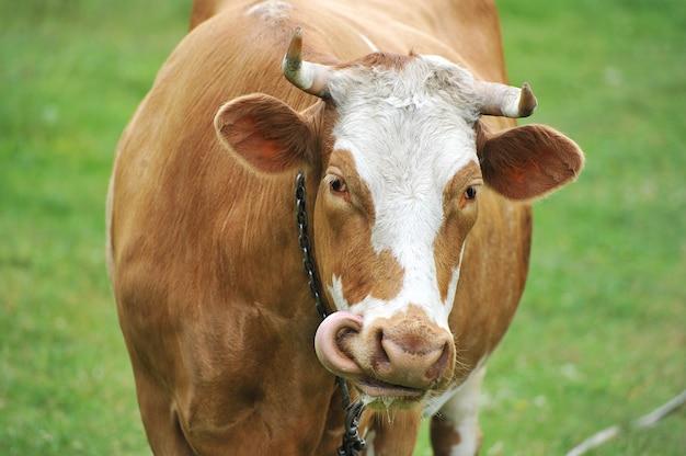 Una mucca rossa con le corna al guinzaglio