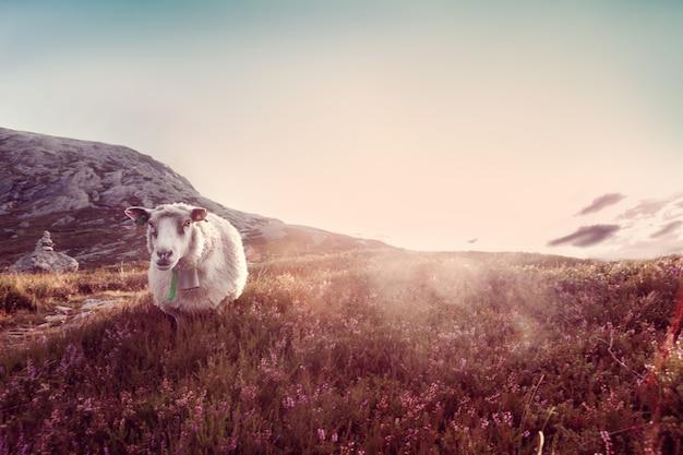 Una pecora pascola in montagna al tramonto