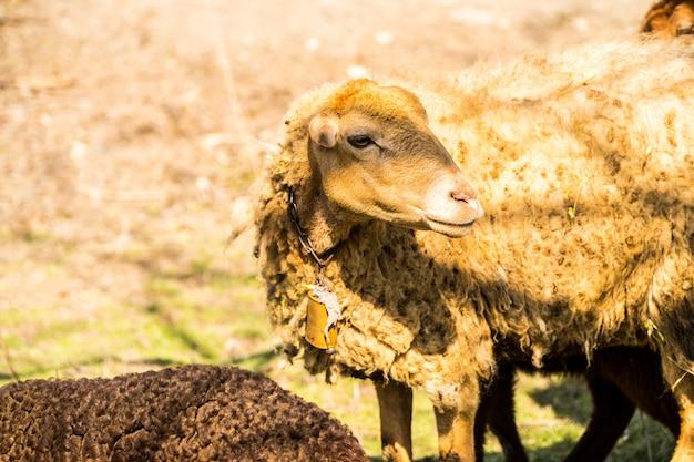 Una pelle di pecora marrone nel terreno agricolo