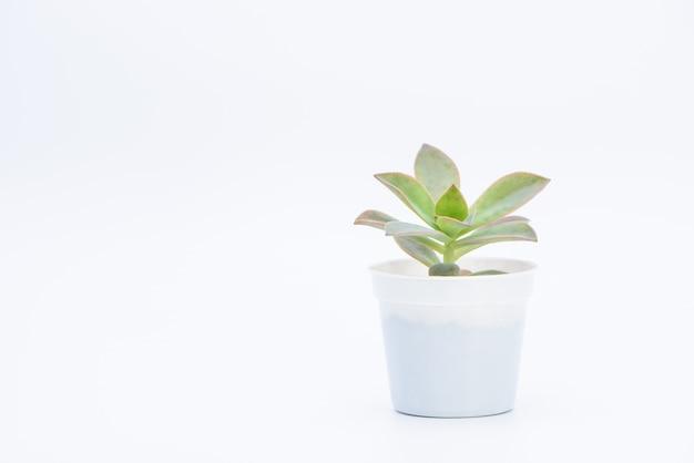 Una pianta succulenta in vaso