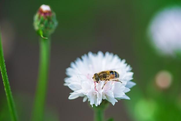 Una piccola ape raccoglie il nettare da un fiore bianco in una giornata di sole in estate.