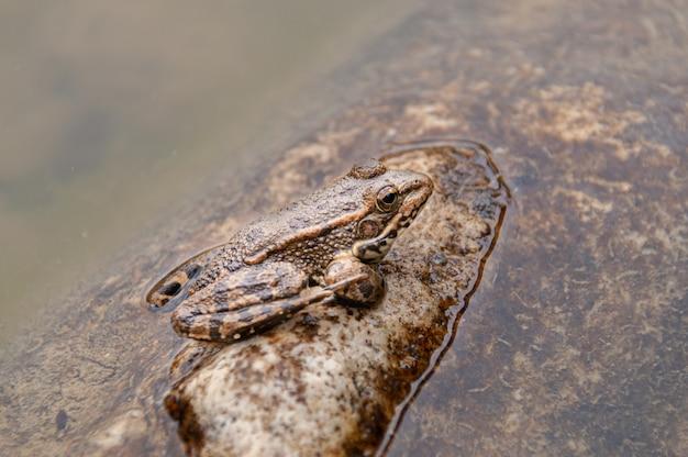 Una rana in uno stagno in andalusia, spagna