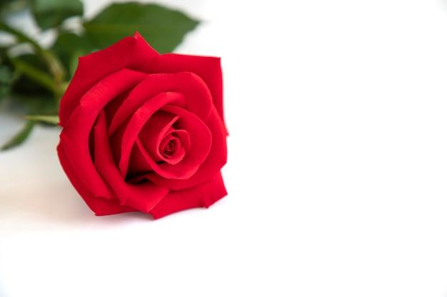 Una rosa rossa su sfondo bianco