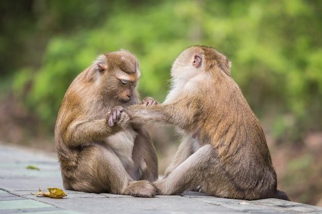 Una scimmia maschio che controlla le pulci e le zecche nella femmina