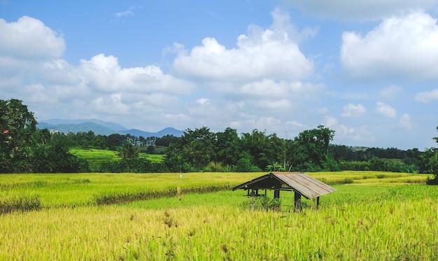 Una vecchia capanna nel campo di riso verde giallo, nan, thailandia.