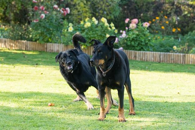 Una vecchia femmina e un vecchio maschio beauceron o beauce pastore giocano in un giardino verde e fiorito in estate
