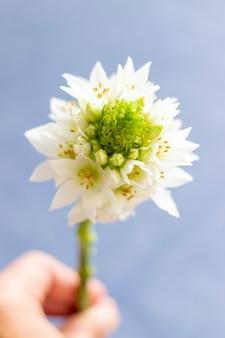 Una vista ravvicinata di una stella di betlemme fiore