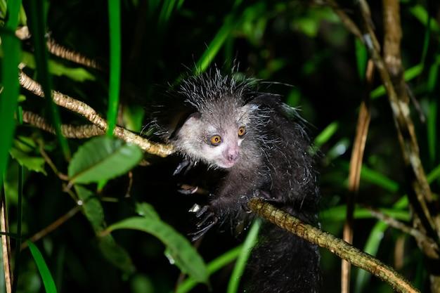 Uno dei rari lemure aye-aye che è solo notturno