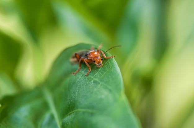 Uno scarabeo su una foglia verde, fine in su.