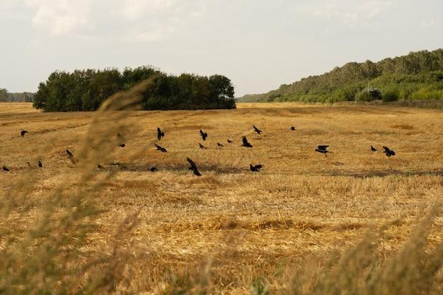 Uno stormo di corvi sorvola il campo autunnale.