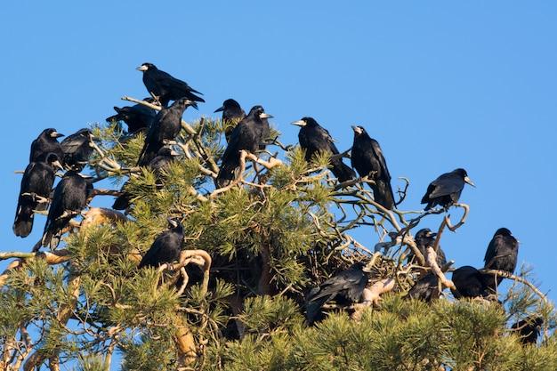 Uno stormo di corvi su un albero di pino