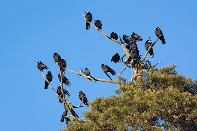 Uno stormo di corvi sull'albero di pino