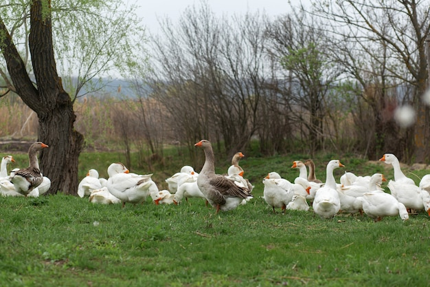 Uno stormo di oche bianche cammina in primavera nel villaggio sul prato con erba verde fresca