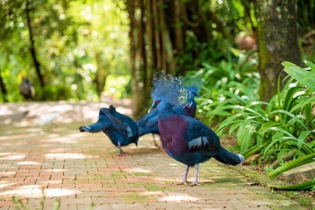 Uno stormo di piccioni incoronati cammina in un parco verde