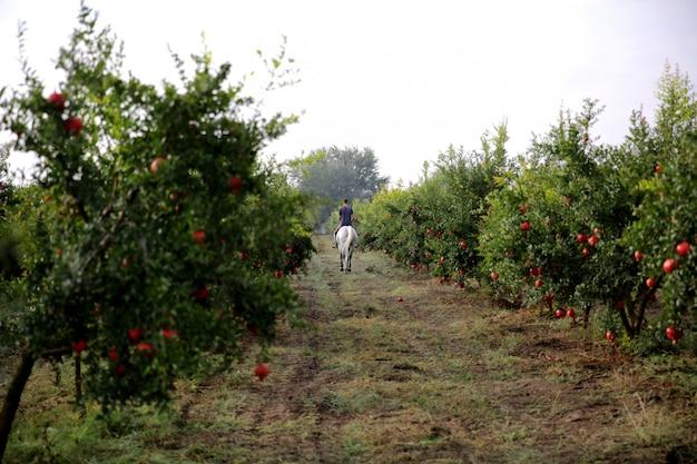 Uomo a cavallo bianco attraverso il giardino di melograno
