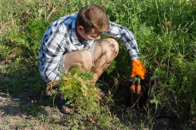 Uomo alle carote del raccolto del raccolto dell'azienda agricola