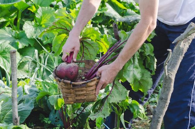 Uomo raccogliendo barbabietole nel frutteto.