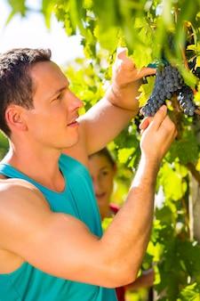 Uomo raccolta uva con taglio al momento del raccolto