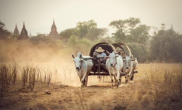 Uomo rurale birmano che guida carrello di legno con fieno sulla strada polverosa disegnata