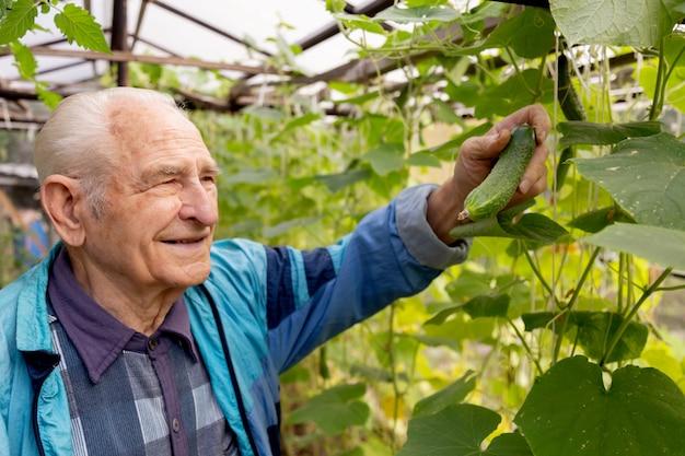 Uomo senior anziano che tiene e che controlla cetriolo alla serra dell'azienda agricola