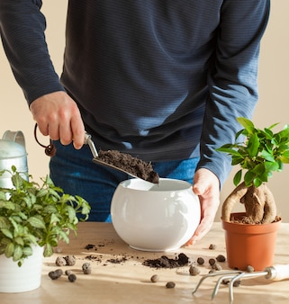 Uomo trasferendo ficus houseplant