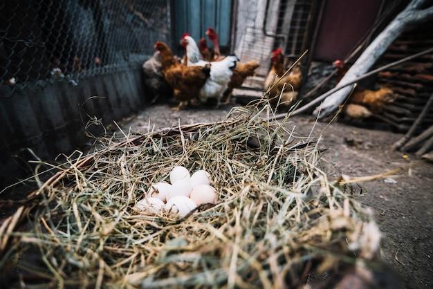 Uova bianche nel nido con le galline in background