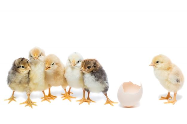Uovo di pollo su sfondo bianco