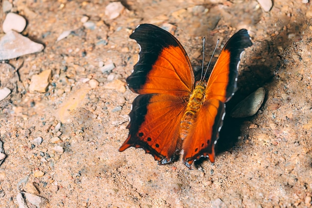 Upperside bella farfalla, rhinopalpa polynice eudoxia: wizard, beautiful butterfly in thailand