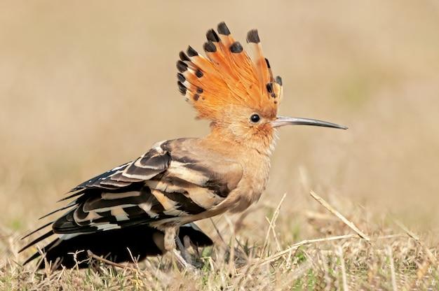 Upupa comune che mostra la sua bella corona e le ali