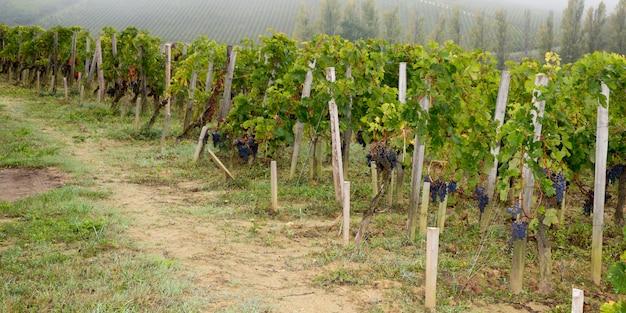 Uva delle vigne a saint emilion francia